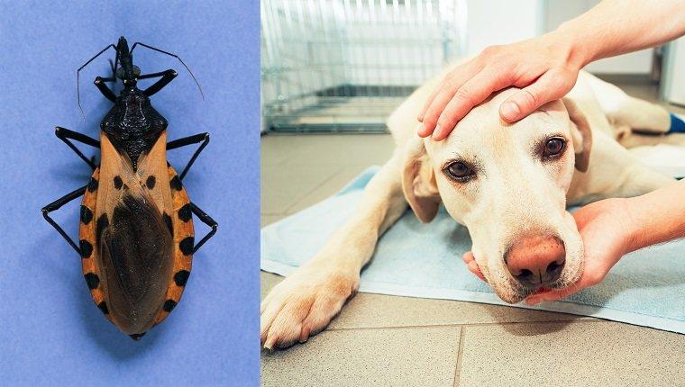 Assassin Bug and sick dog