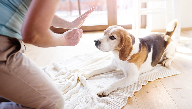 """An older Beagle waits as his owner holds a treat in one hand and makes a """"stay"""" command with the other."""