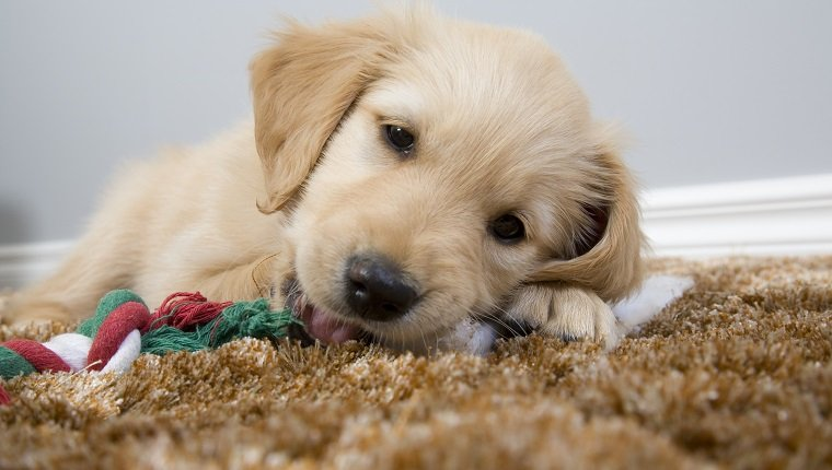A cute puppy chewing his toy on the rug.