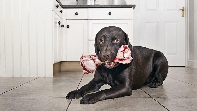 Chocolate Labrador with big Bone