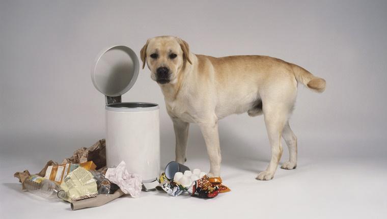 Yellow Labrador standing next to bin and rubbish