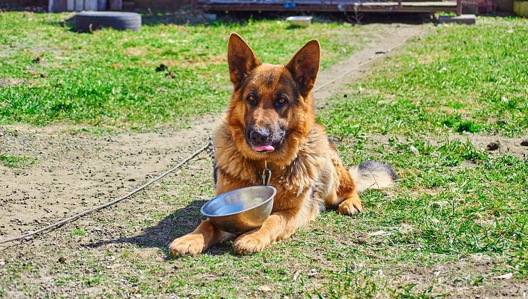 German Shepherd in the yard on a leash, with a bowl asking for food