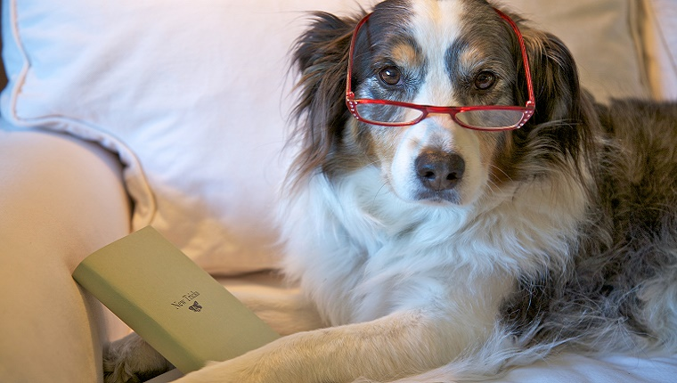 """An older dog wears a pair of reading glasses and is holding a book titled """"New Tricks."""""""