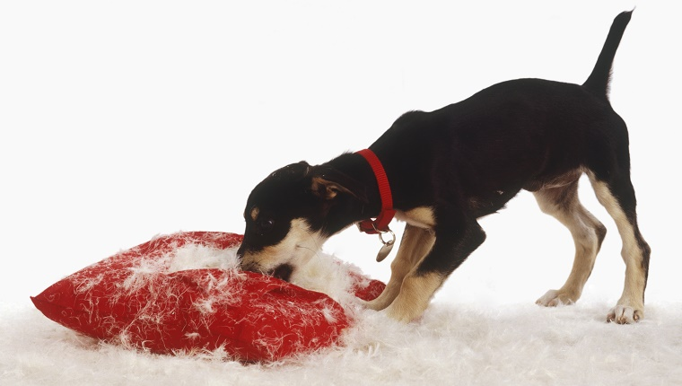 A puppy rips apart a red pillow, spreading stuffing everywhere.