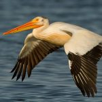 White Pelican : National Bird of Romania