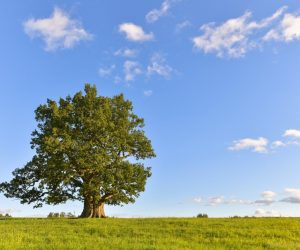 Romania national tree