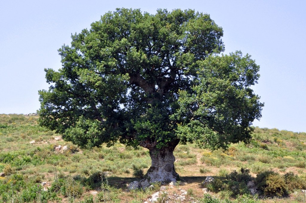 National Tree of Romania