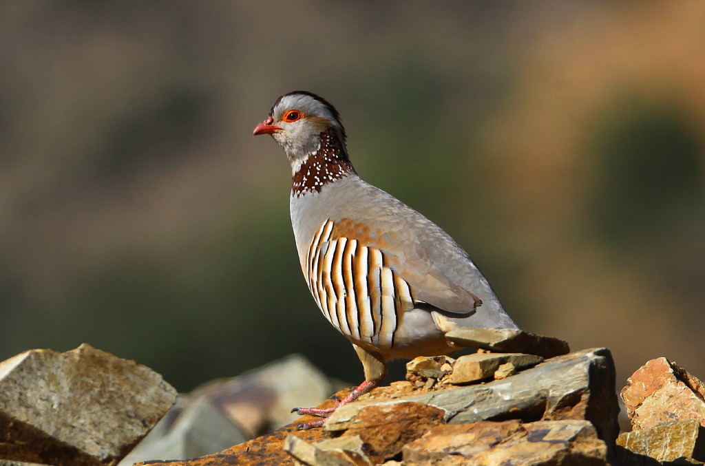 Barbary Partridge National bird of Algeria