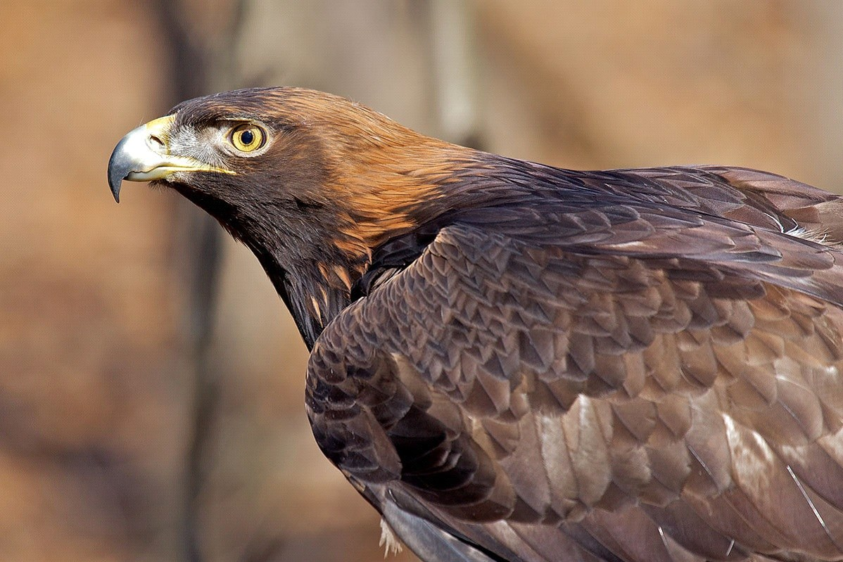 National Bird of Afghanistan golden eagle