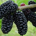 National Tree of Afghanistan mulberry