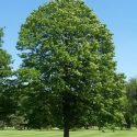 National Tree of Czech Republic small leave