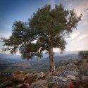 National Tree of Italy