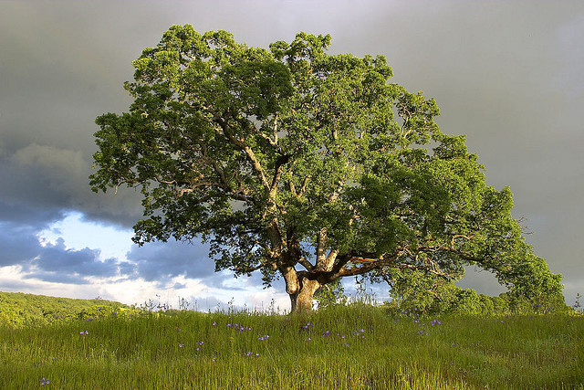 National Tree of USANational Tree of USA