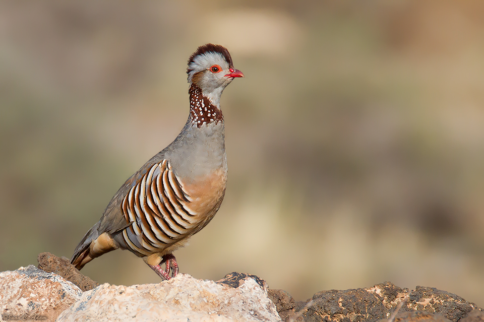 National bird of Algeria