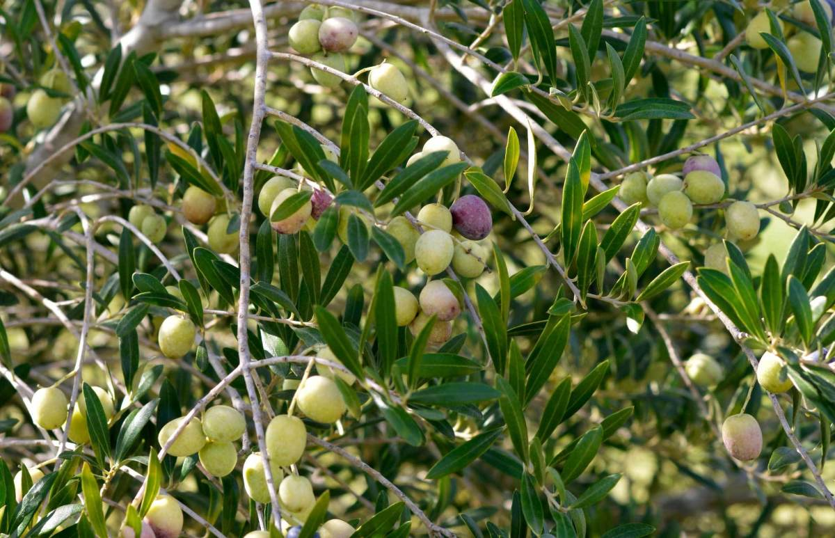 Olive tree itlay