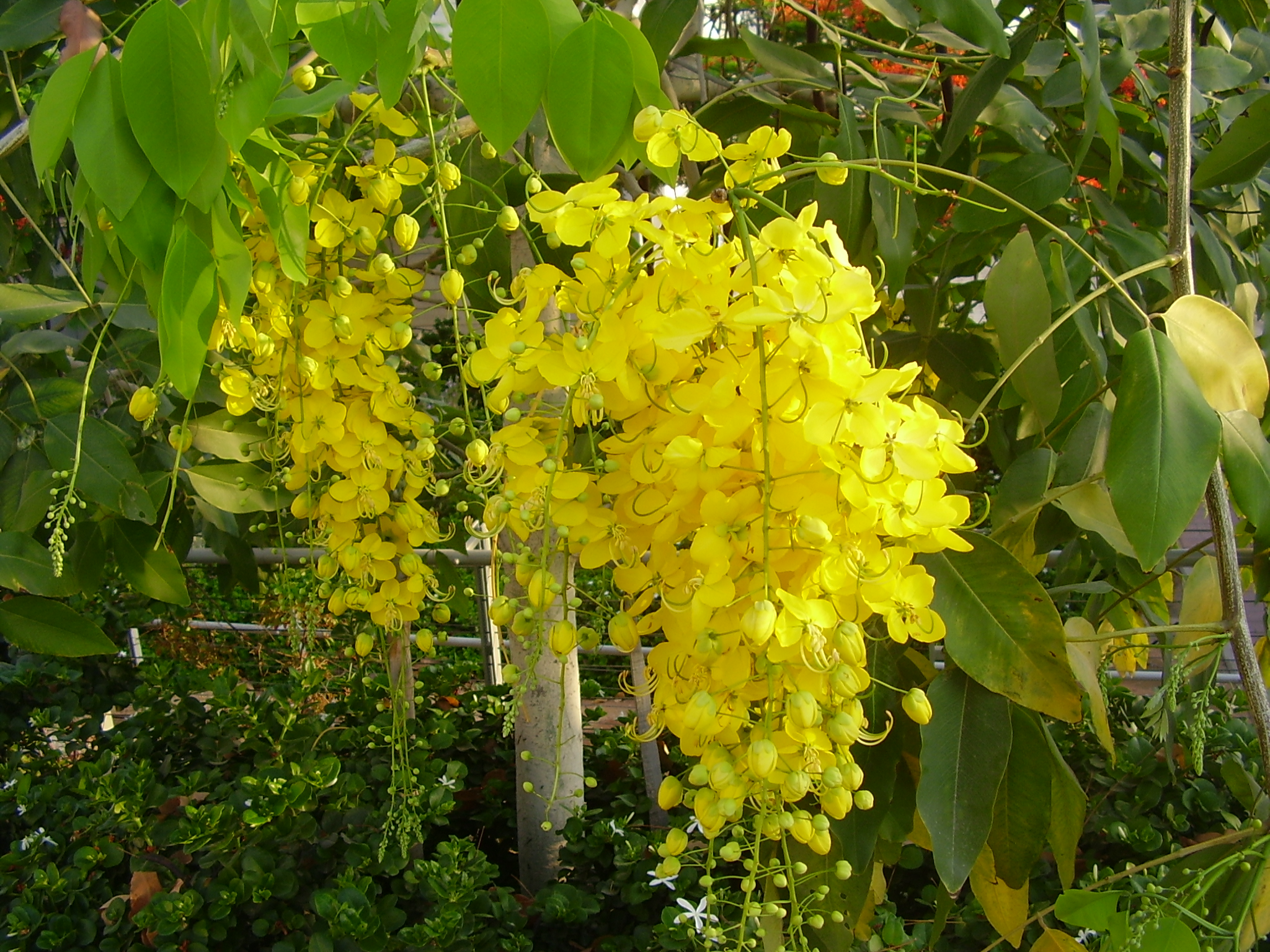 Thailand National Tree