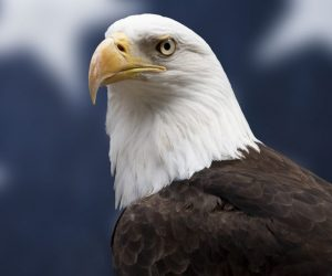 national bird of usa