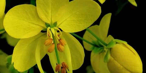 national flower of Thailand