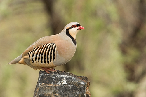 Chukar national bird of Iraq