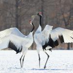 Crane: The National bird of China