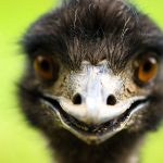 Ostrich: National Bird of Australia