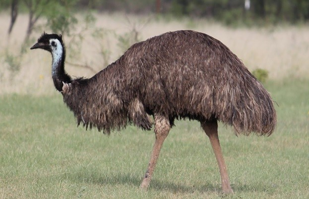 National Bird of Australia emu