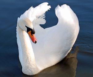 National Bird of Denmark