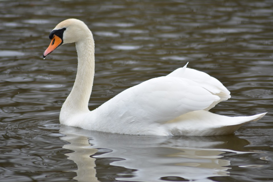 National Bird of Denmark swan