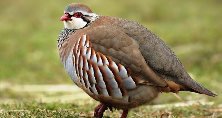 National Bird of Iraq Chakaur