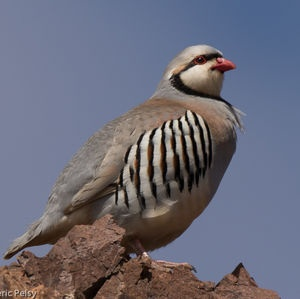 National Bird of Iraq