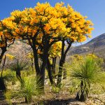 Acacia: National Tree of Australia