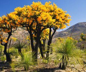 National Tree of Australia