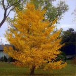 Ginkgo: National Tree of China