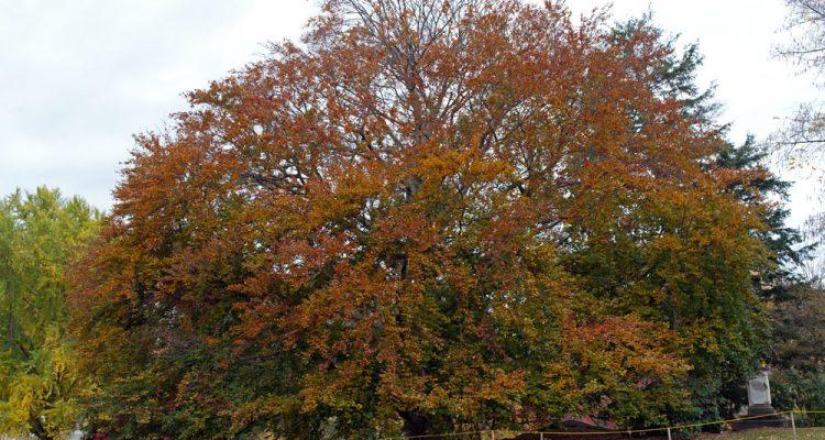 National tree of Denmark