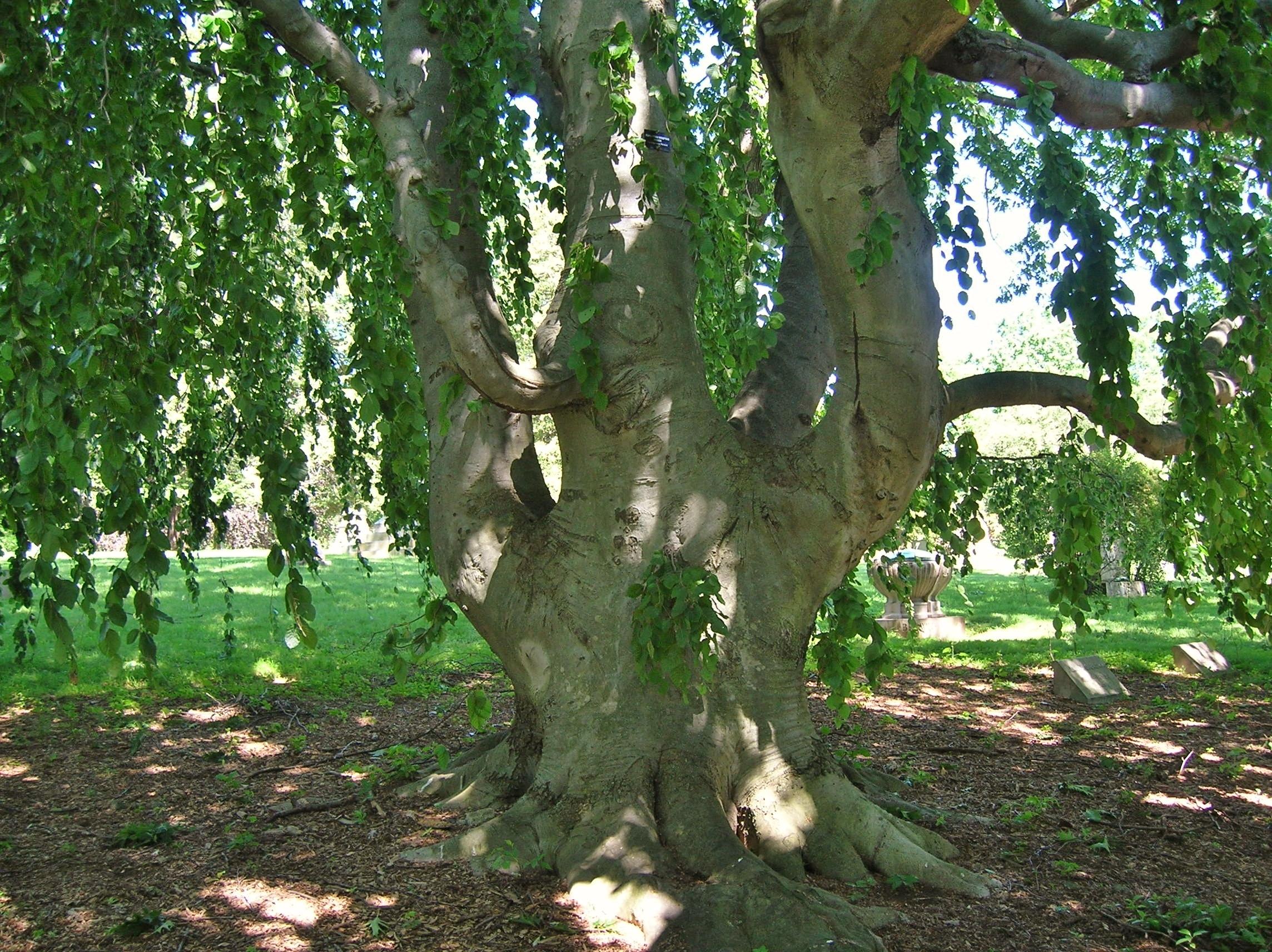 National tree of Denmark;