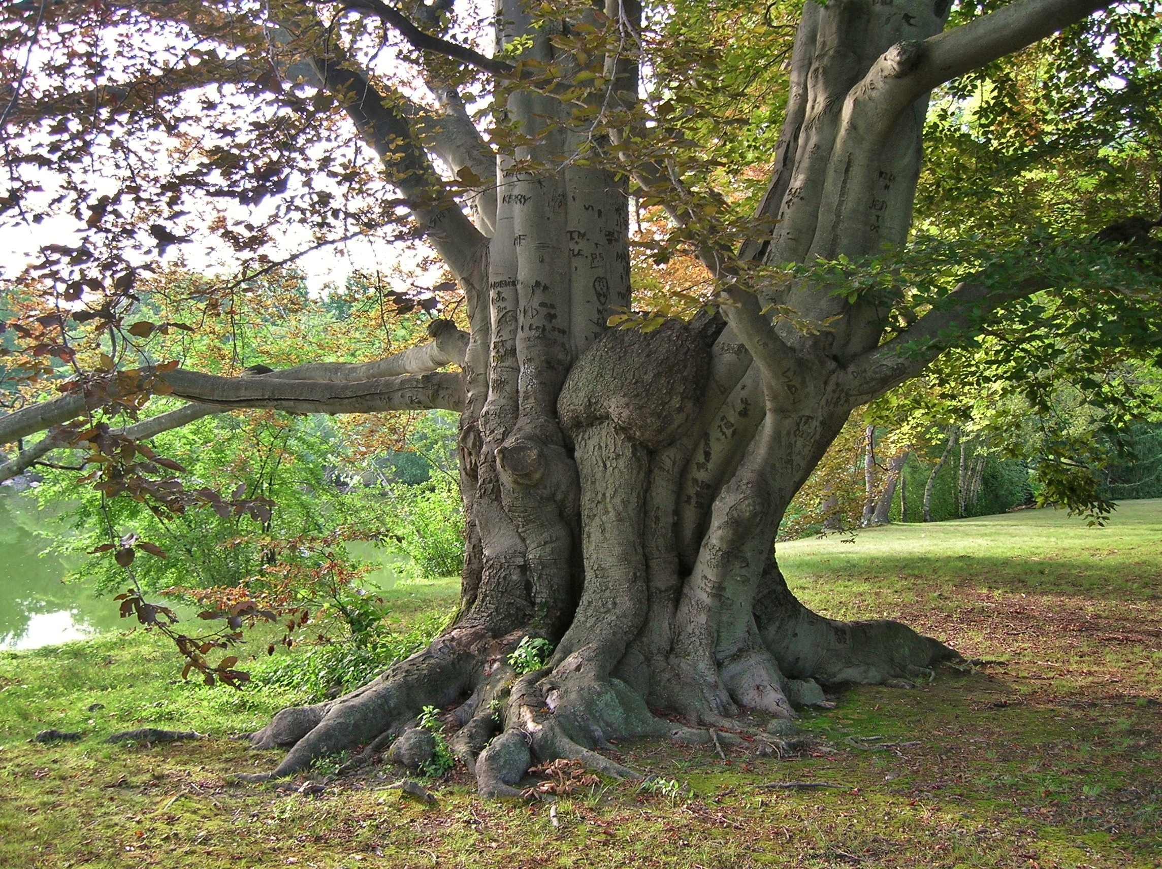 national tree of denmark european beech