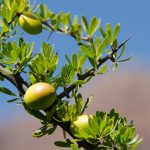 Argania Spinosa: The National Tree of Morocco