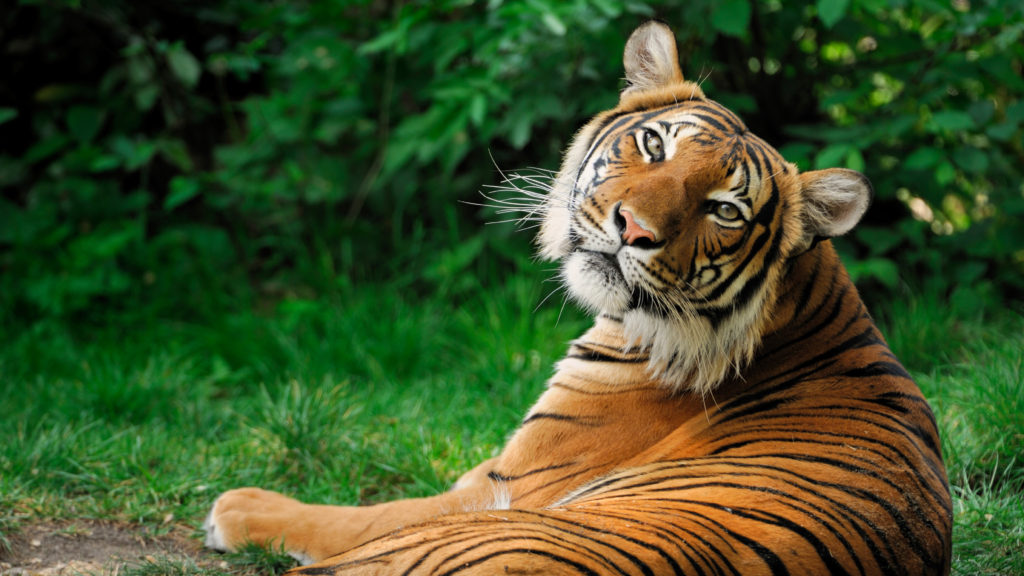 Tiger Facts - National animal of India
